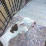 Owner wants stolen pitbull back!