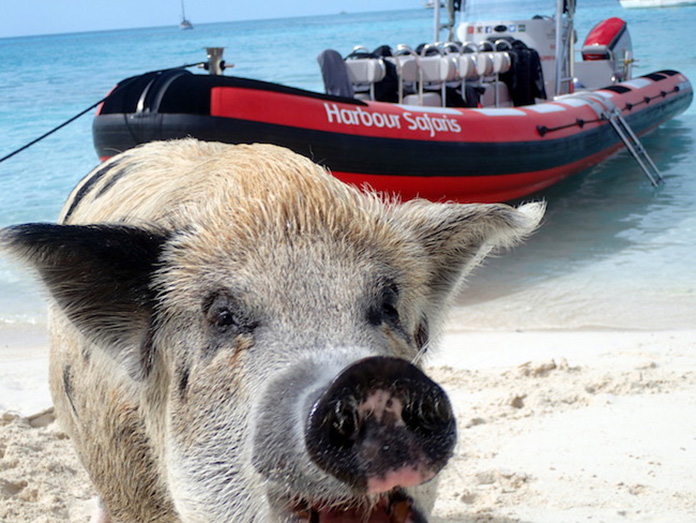 Swimming pigs tour operators receives TripAdvisor