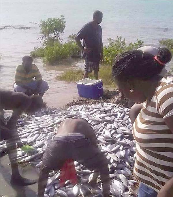 Hundreds of jacks hauled into Eleuthera this morning raises concern for health officials...
